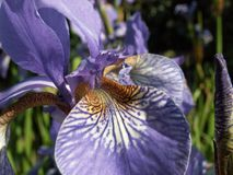 The Word of Flowers - in the home garden,. Various varieties of Irises royalty free stock images