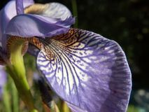 The Word of Flowers - in the home garden,. Various varieties of Irises stock images