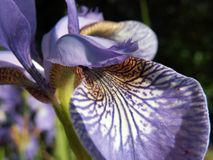 The Word of Flowers - in the home garden,. Various varieties of Irises stock photo