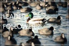 Word Follow the Leader. Wild  Mallard ducks swim in the lake. Royalty Free Stock Image