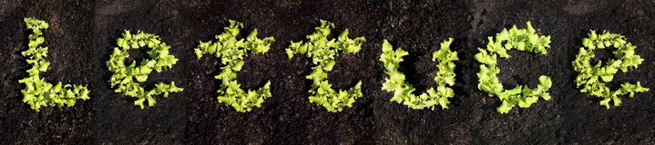 Word lettuce Stock Photography