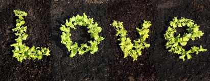 Word love. With growing lettuce Stock Photos