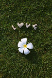 Word love made of stones on the green grass. With white plumeria Stock Photography