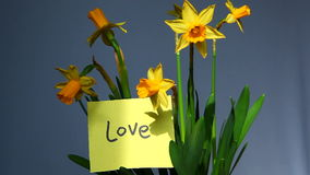 Word Love with yellow flowers. Card with word Love and yellow narcissus or daffodils flowers stock video footage