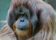 Orangutan male. Royalty Free Stock Photography