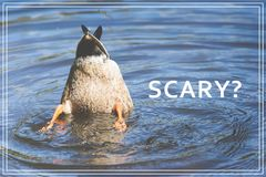 Word Scary. Duck diving in lake. Word Scary. Duck diving in lake Stock Photos