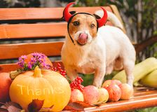 Fall holiday season concept with dog wearing Halloween costume and autumnn harvest of pumpkins and apples