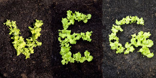 Word VEG with lettuce. Word VEG with growing lettuce Stock Image