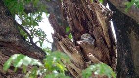 Wordt de kind leuke uilen gemaakt in een holle boom starend met grote ogen in Thailand stock footage