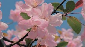 Wordt geschoten komt de close-up langzame die motie van de lenteperzikboom slingerend in de wind, blauwe hemel op de achtergrond  stock videobeelden