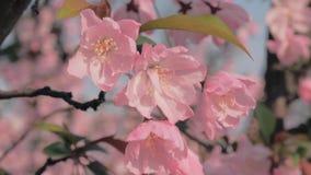 Wordt geschoten komt de close-up langzame motie die van de lenteperzikboom slingerend in de wind tot bloei Mooie roze tot bloei k stock videobeelden