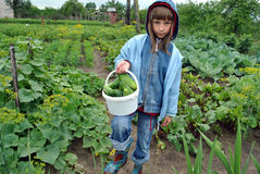 Work. The girl reaps a crop of cucumbers on a kitchen garden Stock Photography