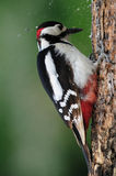 During Work. The photo was taken on a Woodpecker working on a tree. It was captured in Hungary Royalty Free Stock Image