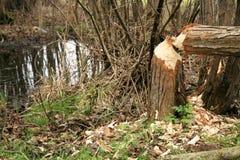 Work of the beaver Stock Photos
