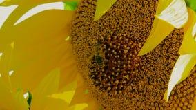 Work Bee stock video footage