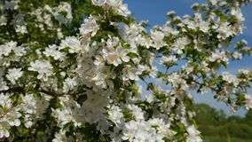 Blossoming apple fruit trees in orchard in springtime. Work of bees on blossoming apple fruit trees in orchard in springtime stock video