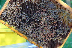 Work bees in hive. Bees in a beehive on honeycomb royalty free stock photography