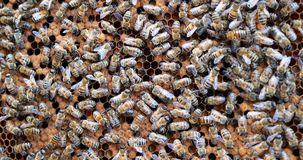 Work bees in hive. Bees convert nectar into honey and cover it in honeycombs. Beekeeping stock video