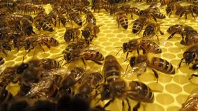 Work bees in hive stock video footage