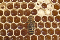 Work bees in hive Royalty Free Stock Image