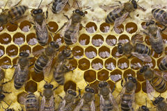 Work bees in hive Stock Photography