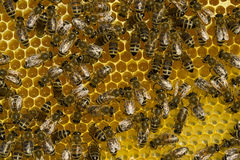 Work bees in hive Stock Image