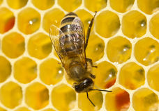 Work bees in hive Royalty Free Stock Photos