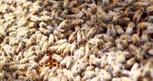 Work bees in hive. Bees convert nectar into honey and cover it in honeycombs. Beekeeping stock video footage