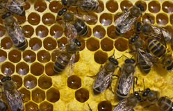Work bees in hive Royalty Free Stock Photo