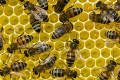 Work bees on a honeycomb Royalty Free Stock Photography