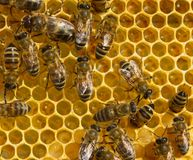 Birth of a new life in the colony of bees. Work bees on a honeycomb. Picture shows the bees of different age stock images