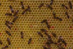 Work of bees inside hive. They convert nectar into honey. Royalty Free Stock Photo