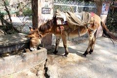 Work Donkey Drinking Royalty Free Stock Images