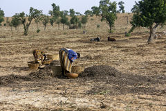 Work in the fields - Mali Stock Photography
