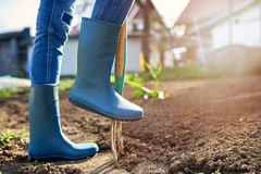 Work in a garden - Digging Spring Soil With Spading fork. Close up of digging spring soil with blue shovel preparing it for new sowing season royalty free stock image