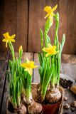 Work in the garden: planting flowers daffodils Royalty Free Stock Images