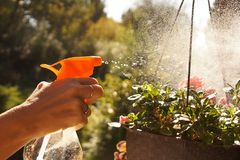 Work in the garden. Sprayer in a woman`s hand, sprinkling potted. Sprayer in a woman`s hand, sprinkling potted azaleas Royalty Free Stock Photography