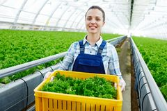 Work in glasshouse. Happy young worker of glasshouse with box of fresh lettuce looking at camera during work Stock Photo