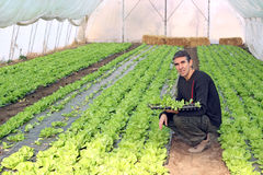 Work in Greenhouse. Organic farmer holding tray of seedlings in greenhouse Stock Photography