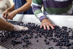 Work after harvest. Sorting of the grapes after harvest Royalty Free Stock Images