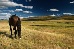 Work horse. Horse at a grassland Royalty Free Stock Image