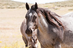 Work Horse in Field Rural America Royalty Free Stock Photography