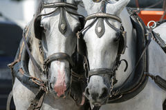 Work Horses. In Andalusia, Spain Royalty Free Stock Photos