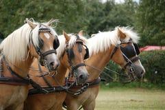 Work horses. Brown work horses in Belgium Stock Image