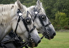 Work horses Royalty Free Stock Images