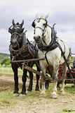 Work Horses. Vertical image of a black and a white work horse yoked together and  hitched up to a cultivator Stock Photo