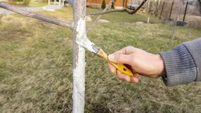 Free Work On Whitewashing Of A Young Apple Tree In Early Spring On A Sunny Day. The Gardener`s Hand Covers The Whitewashed Trunk Of A Stock Images - 173241184