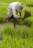 Work on the paddy-field in Asia Royalty Free Stock Photos