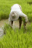 Work on the paddy-field in Asia Stock Photo