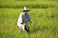 Work on the rice field Stock Photo